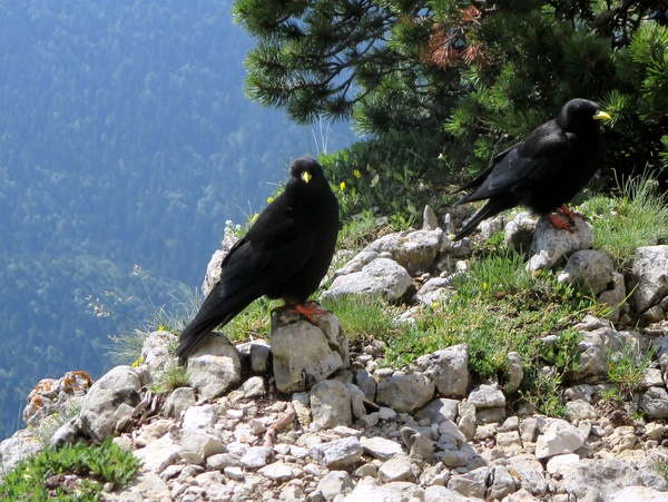 Photograph of alpine choughs on Chamechaude