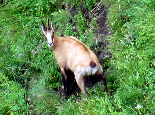 Photograph of a Chartreuse chamois (Rupicapra rupicapra cartusiana) grazing on Dent de Crolles
