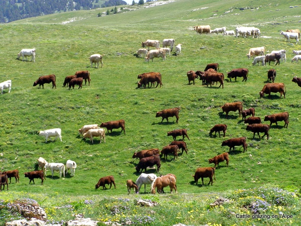 Photograph of cattle grazing on the pastures of l'Alpe
